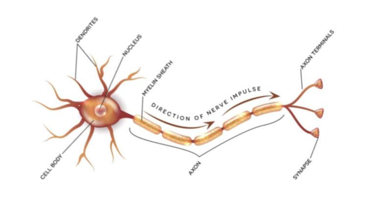 A labelled diagram of a neuron.