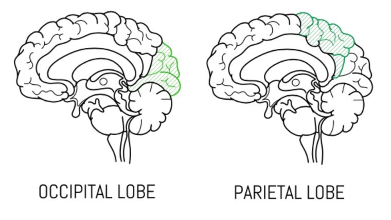 A diagram of the occipital and parietal lobes.