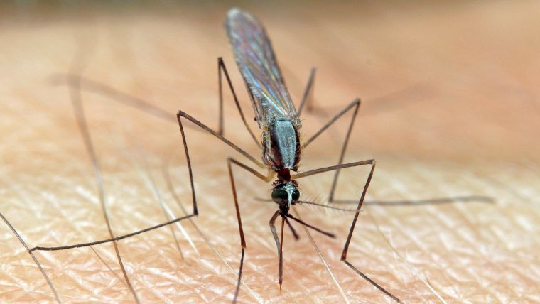 An Anopheles mosquito, transmitter of malaria