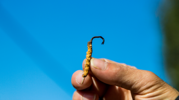Himalayan fungus Cordyceps sinensis