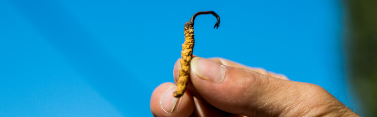An image of the fungus Cordyceps sinensis. Cordycepin is derived from Cordyceps sinensis, which has been used in traditional Chinese medicine for hundreds of years to treat cancers and other inflammatory diseases. Thanks to this Oxford University-NuCana partnership, a new drug called NUC-7738 has been derived from Cordycepin and is now being tested in clinical trials.