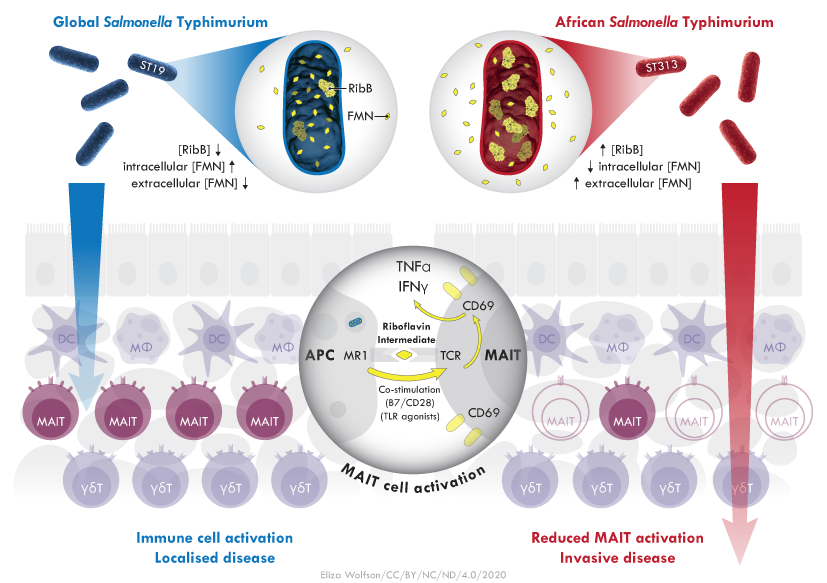 Left: Salmonella typhimurium infects the gut and is recognised by mucosal immune cells, including MAIT and gamma delta T cells, which limit the systemic spread of the disease. Right: African isolates of Salmonella typhimurium evade MAIT cell recognition through RibB overexpression and limited antigen availability, leading to invasive disease. Figure credit: Eliza Wolfson