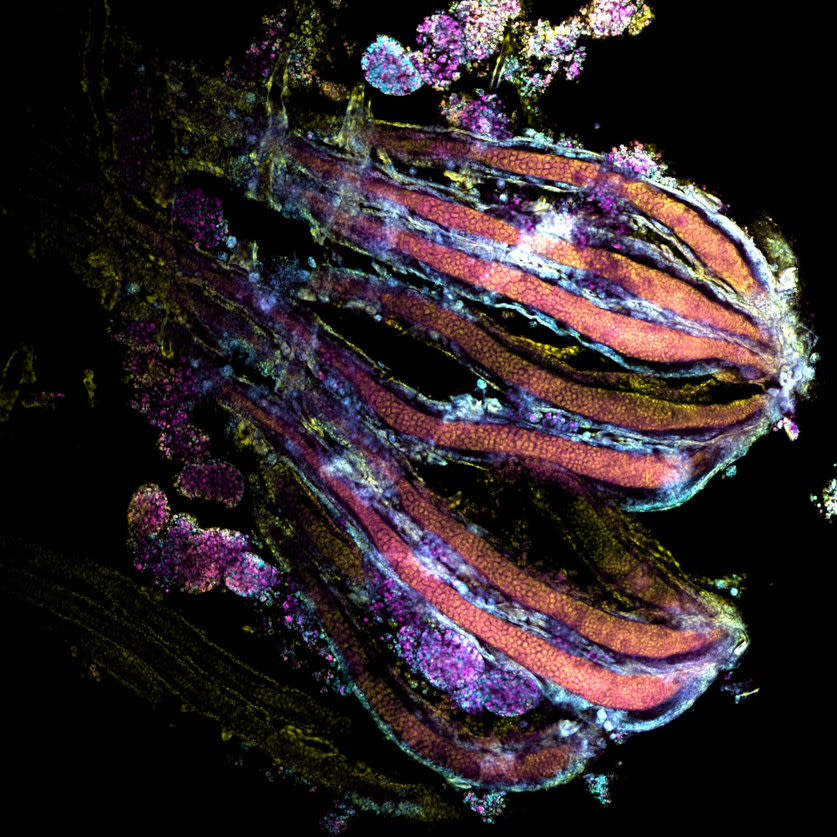 The image displays an optical section of an ovariole (a serial unit of an ovary, female reproductive organ) of a honeybee queen pupae. Ovarioles were stained with phalloidin (in cyan) for filamentous cellular actin visualisation, cell membrane dye (in magenta) and cell nuclei (with DAPI in yellow).