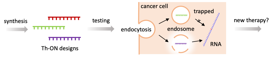 Example of how Th-ONs work and can be used to create new therapies