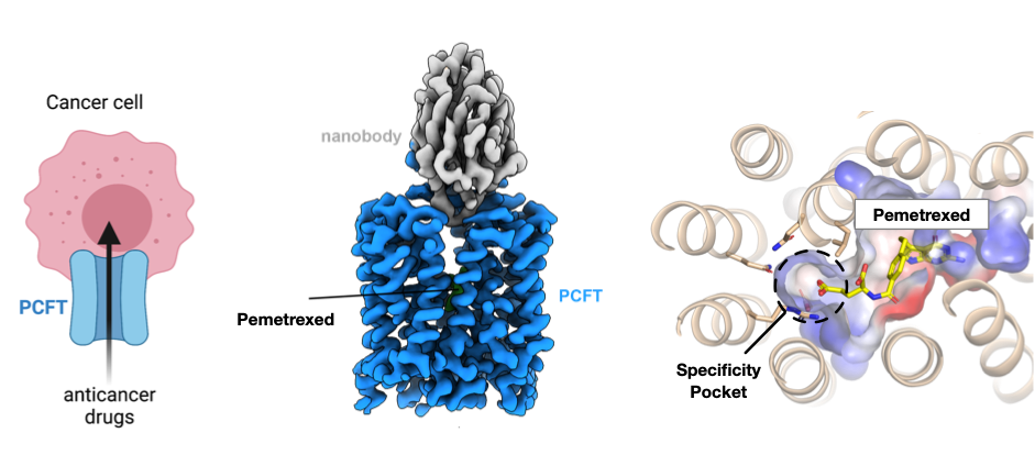 How anticancer drugs use PCFT to enter cells, and the structure of PCFT.