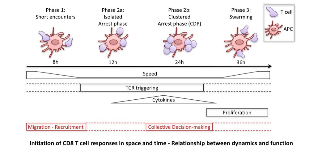 We are interested in understanding how recruitment and differentiation of different CD8 T cell clones are organised in space and time to achieve the correct balance between tolerance and immunity.