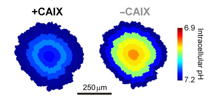 CAIX facilitates acid venting