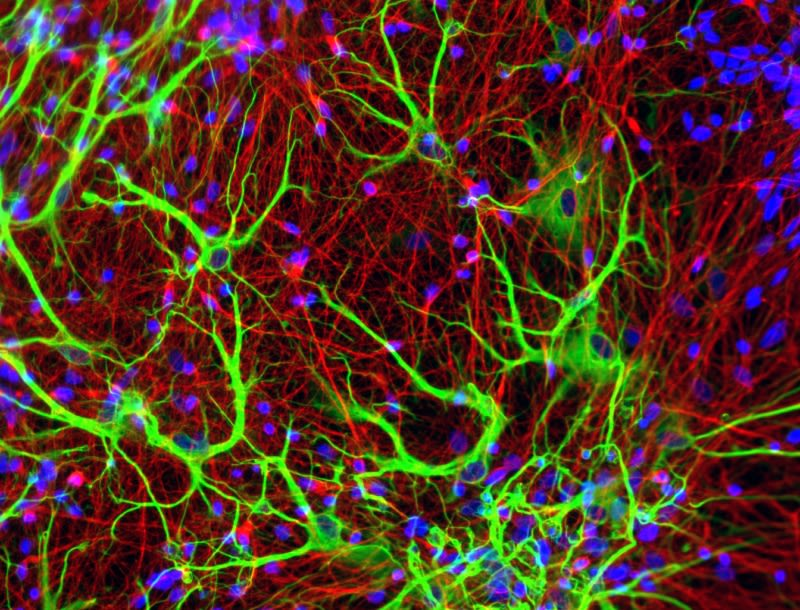 Our group studies the principles underlying synaptic circuit formation and plasticity. These processes are fundamental to normal brain function, and are implicated in disorders such as epilepsy, schizophrenia and dementia.