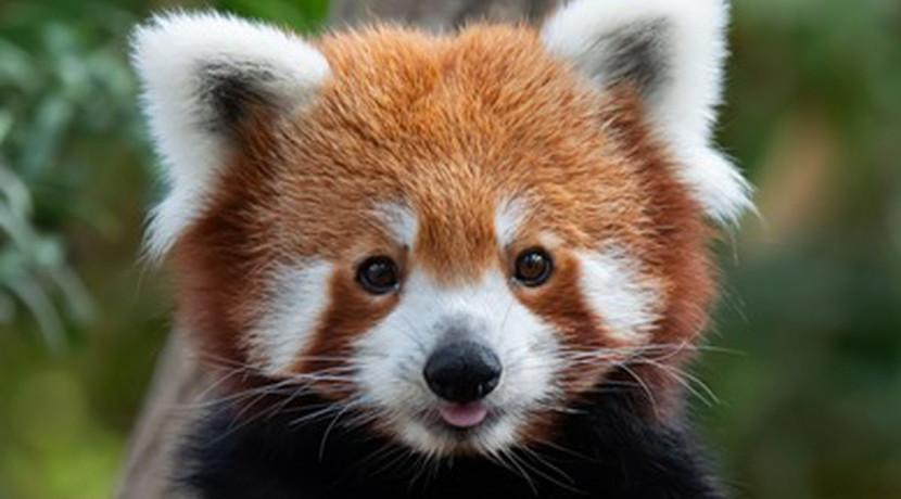 West Midland Safari Park unveils plans to introduce red pandas