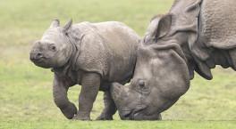 West Midland Safari Park announces Rhino Week event for May half term