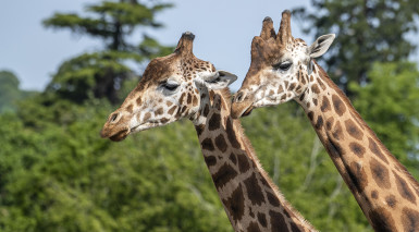 West Midland Safari Park submits plans for giraffe and rhino lodges