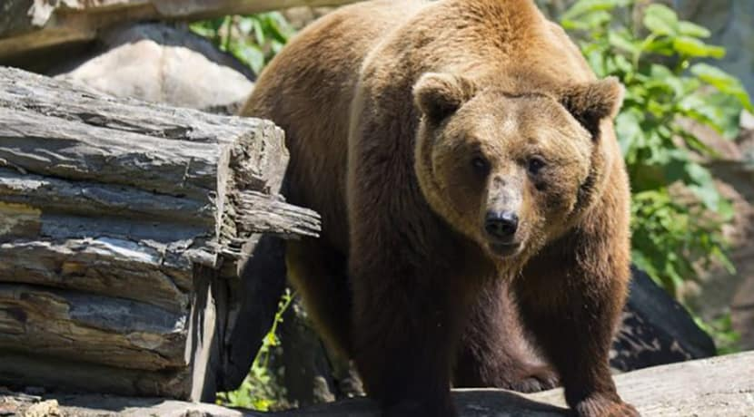Brown bears to return to Dudley Zoo