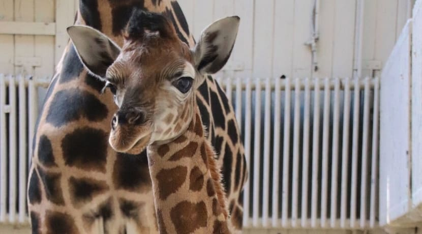 Baby giraffe born at Dudley Zoo