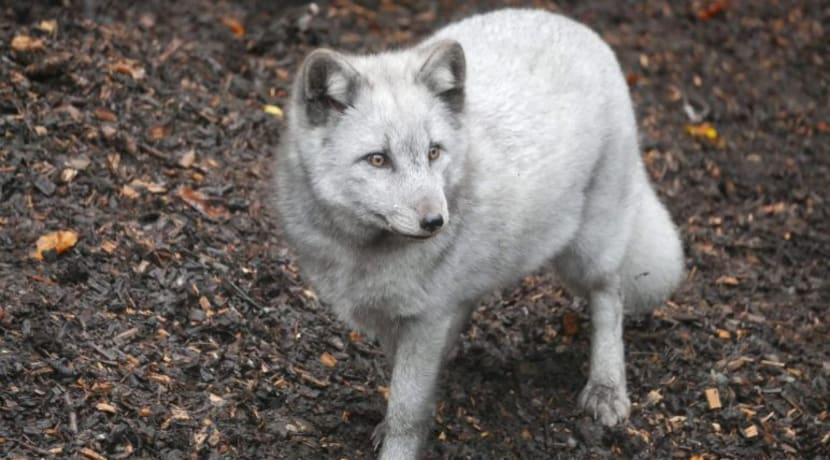 Arctic foxes arrive at Dudley Zoo