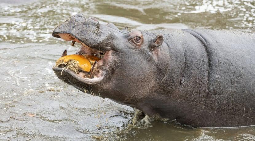 Halloween treats for hungry hippos...