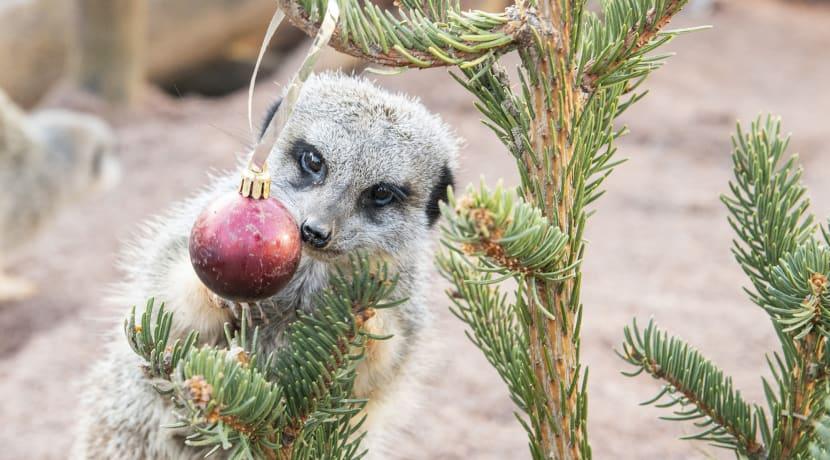 Tree-mendous treats for safari park meerkats