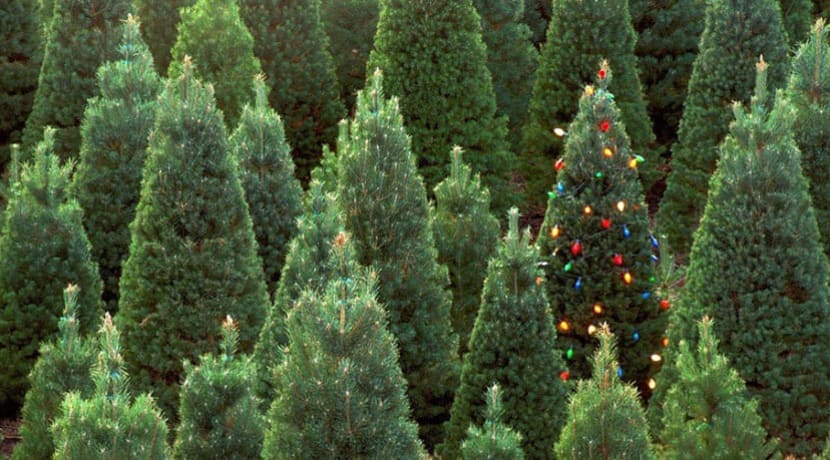 Free collection of real Christmas trees in Wolverhampton