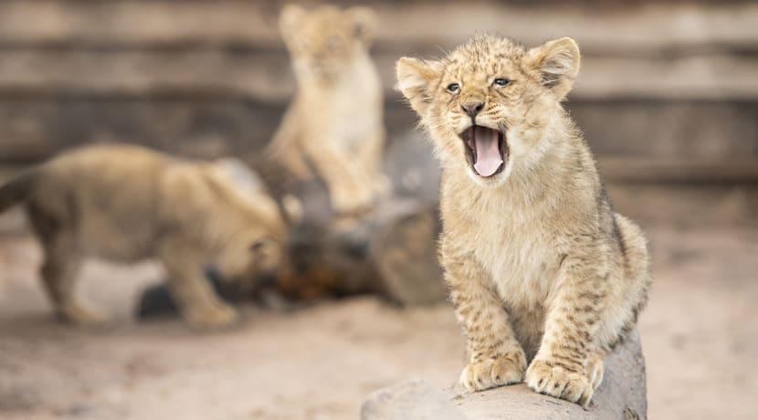 Seven adorable African lion cubs born at Safari Park