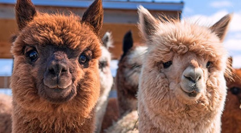 Alpaca walks launch at Sandwell Valley Country Park