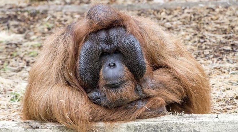 Dudley Zoo reach halfway mark of orangutan enclosure target
