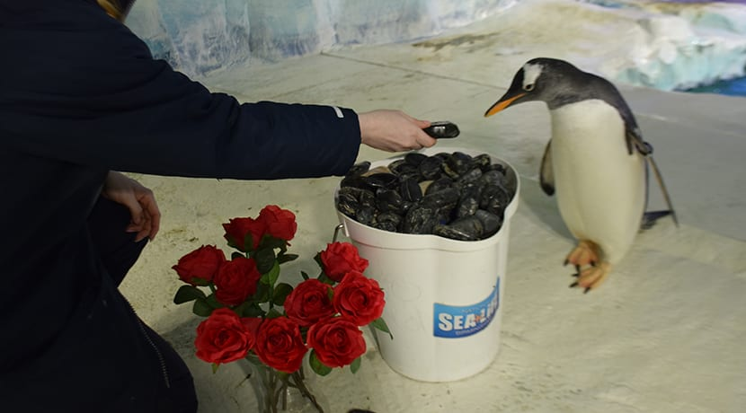 Unlucky in love penguin Prince is on the look-out for love this Valentine's Day