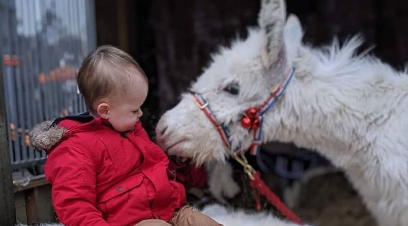 Visit Elsa the miniature snow donkey this festive season