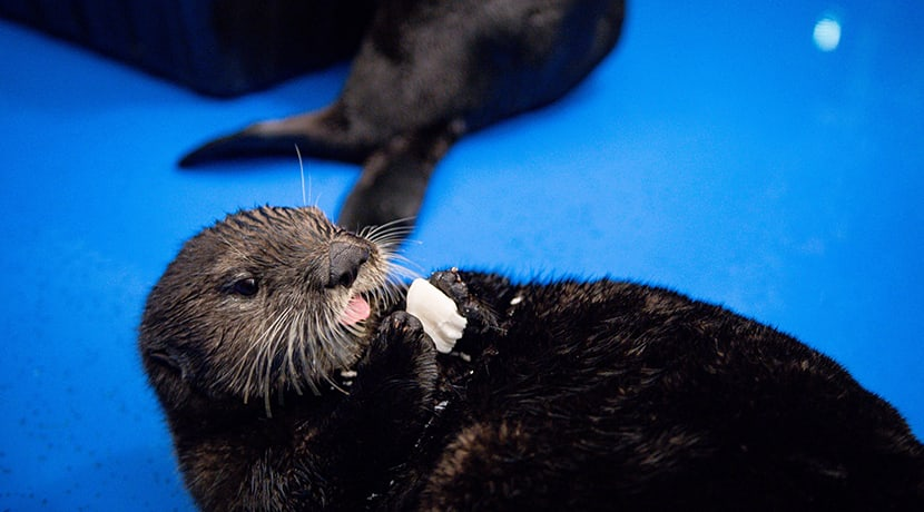 The UK's first ever Sea Otters have safely at National Sea Life Centre Birmingham