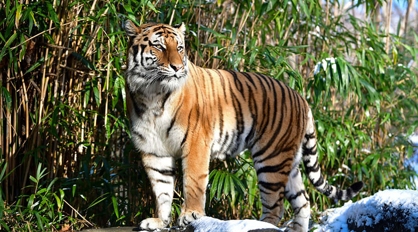 A Malayan tiger has tested positive for COVID-19