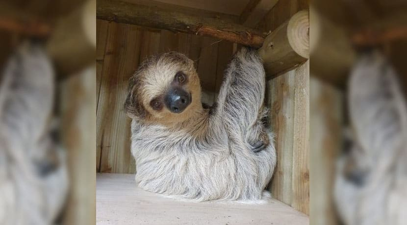 Dudley Zoo welcomes new sloth as part of breeding programme