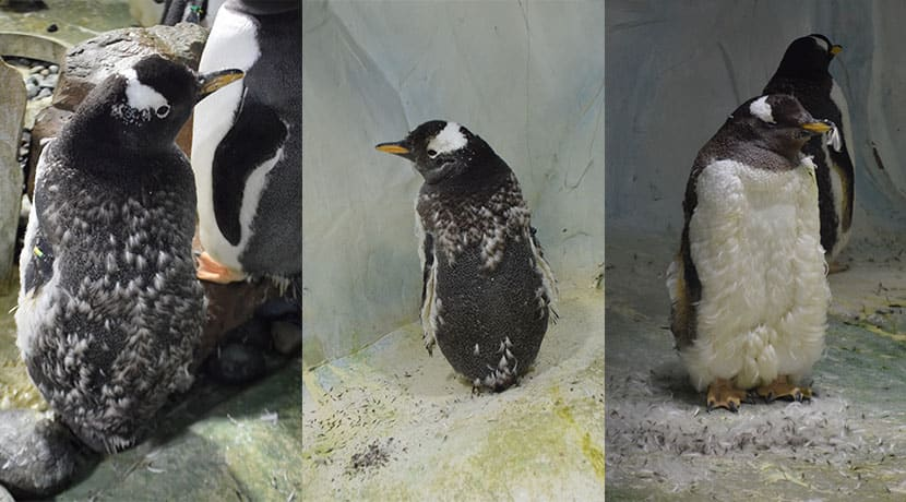 Penguins experience the ultimate bad hair day at Birmingham's National Sea Life Centre