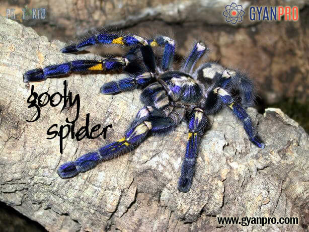 The Most Elegant Gooty Spider | GyanPro Science Blog