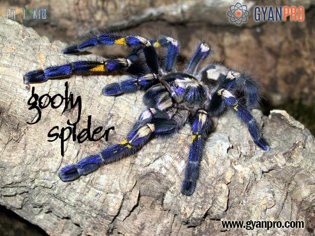 Gooty spider_gyanpro