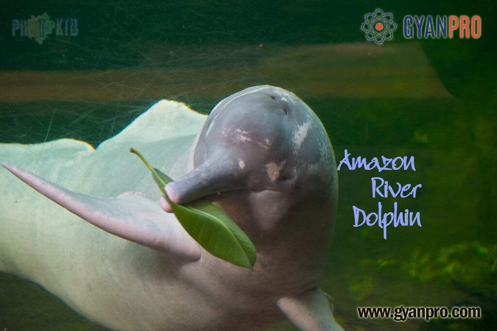 The Amazon River Dolphin that cannot Swim
