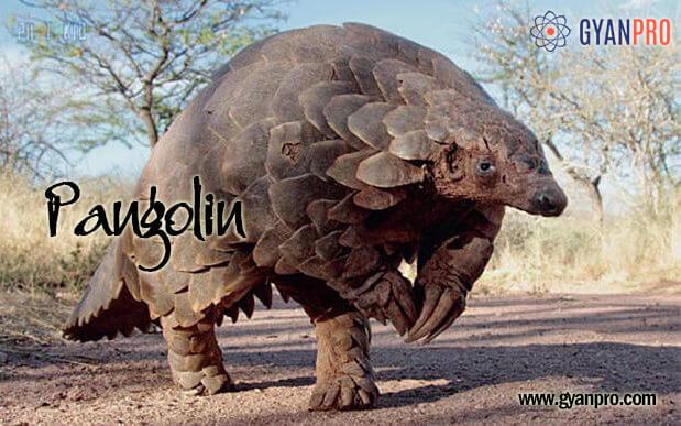 pangolin_gyanpro