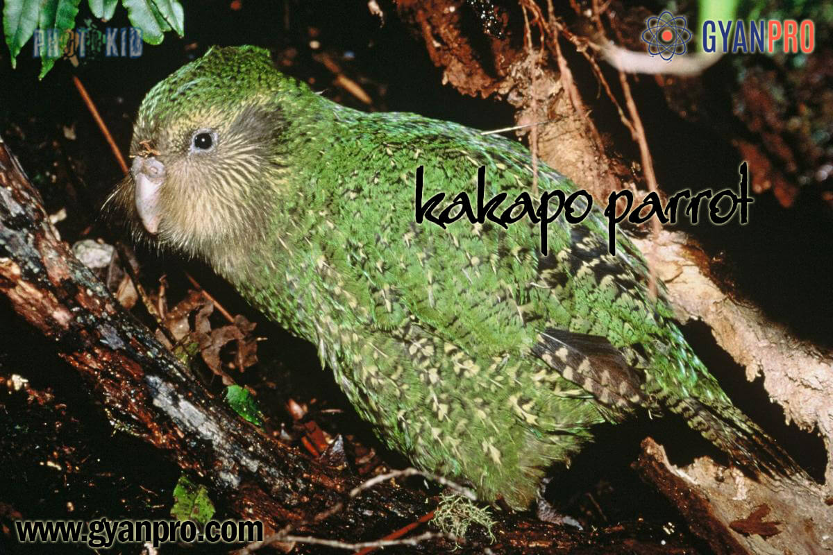 Kakapo parrot_gyanpro