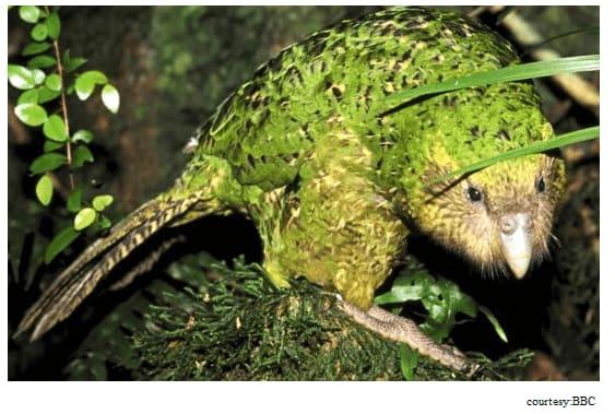 kaakapo-parrot
