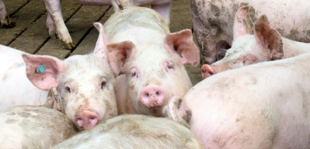 Síntomas y Tratamiento de las Enfermedades en los Cerdos en General