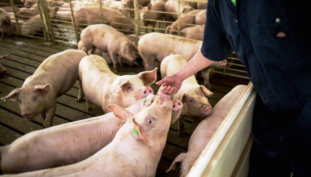 Manual operativo para el adecuado manejo y transporte del ganado porcino (2da.parte)