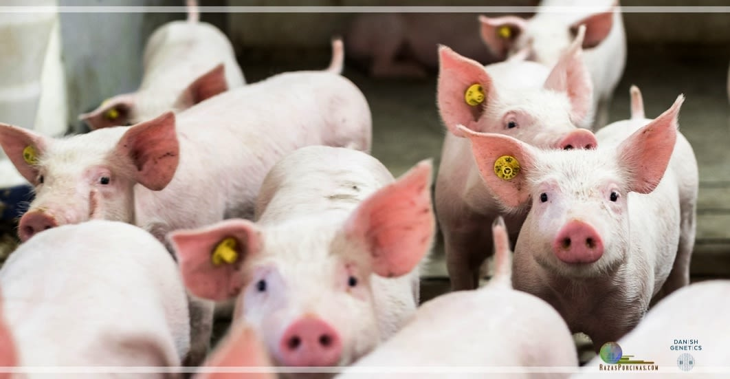 Danish Genetics empresa internacional de excelencia mundial en genética porcina