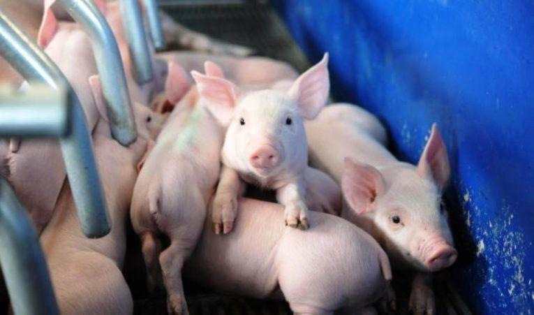 El sector porcino supone el 25% de la producción ganadera navarra y mantiene unos 1.000 empleos directos