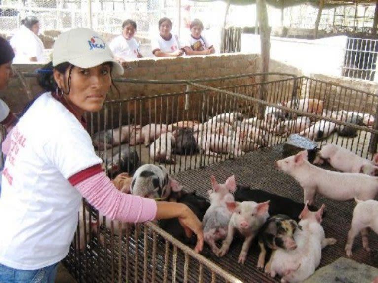 Emprendedores salen de la pobreza con la cría de cerdos