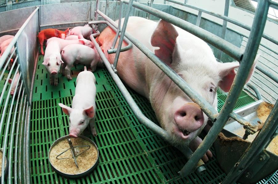 Más de 300 productores porcinos beneficiados en la provincia de Córdoba