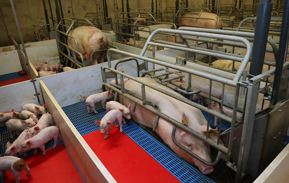 Un exceso fiscal que afecta a los productores porcinos argentinos