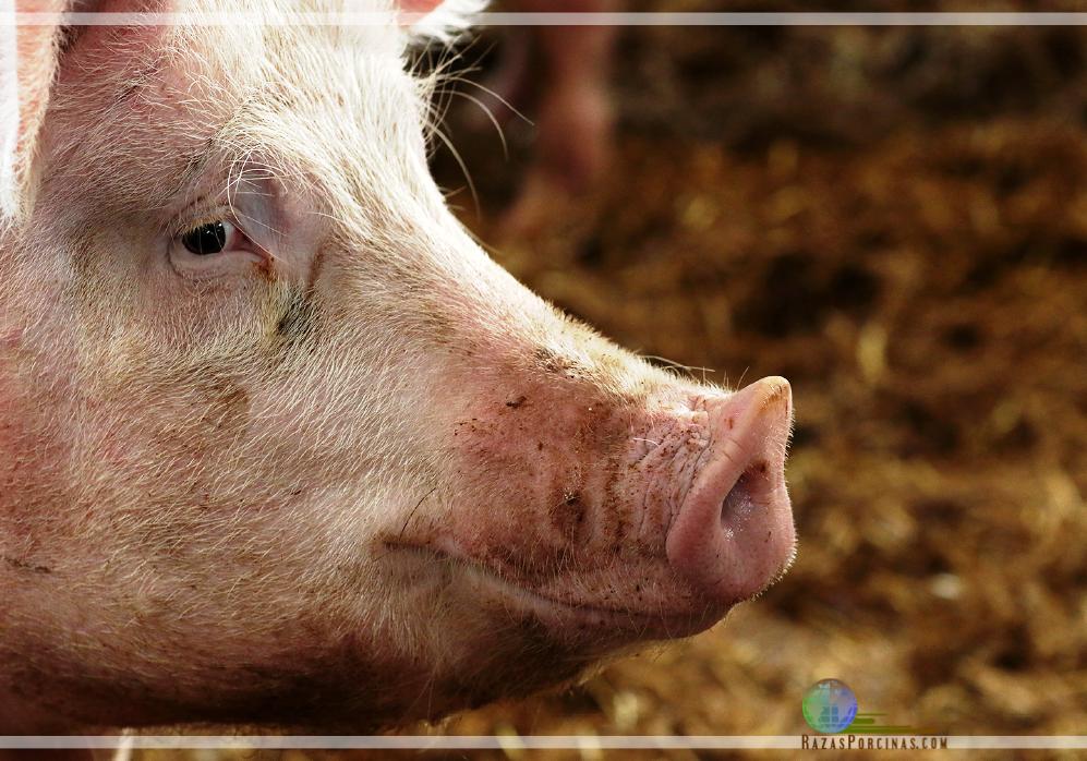 """La carne de cerdo y la crisis de las """"superbacterias"""""""