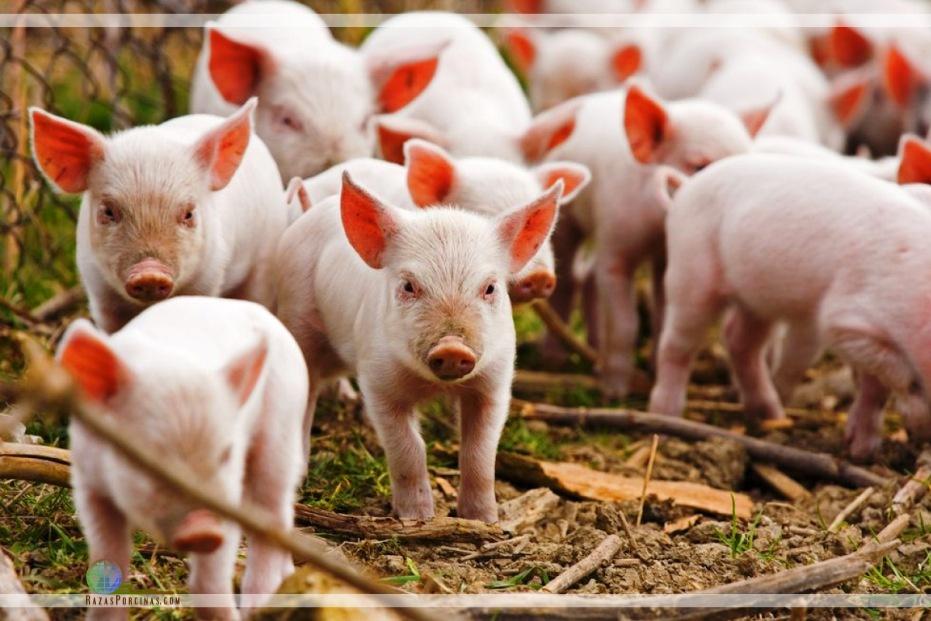 Argentina fue reconocida como país libre de Peste Porcina Clásica