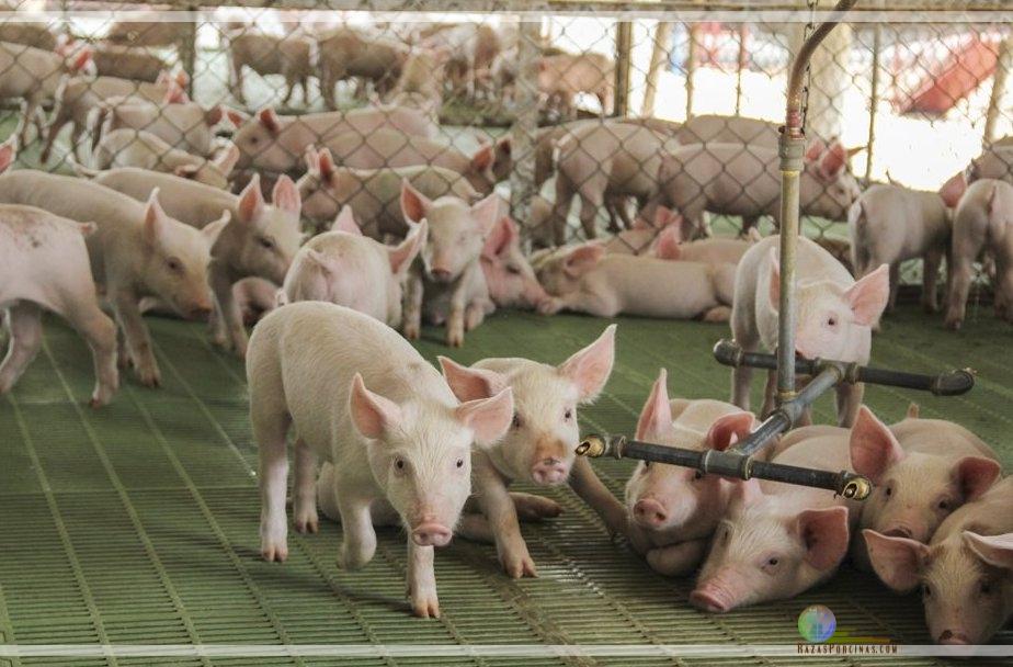 Cómo manejar el efecto del estrés térmico en porcinos