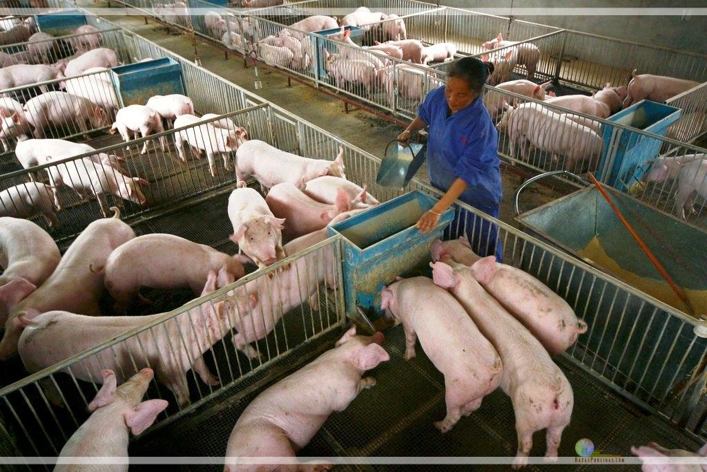China reporta el caso Nº50 de peste porcina africana