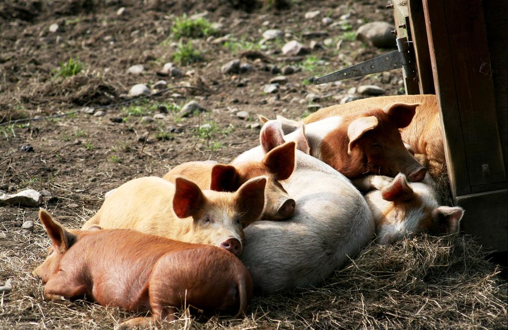 enfermedades mas comunes cerdos