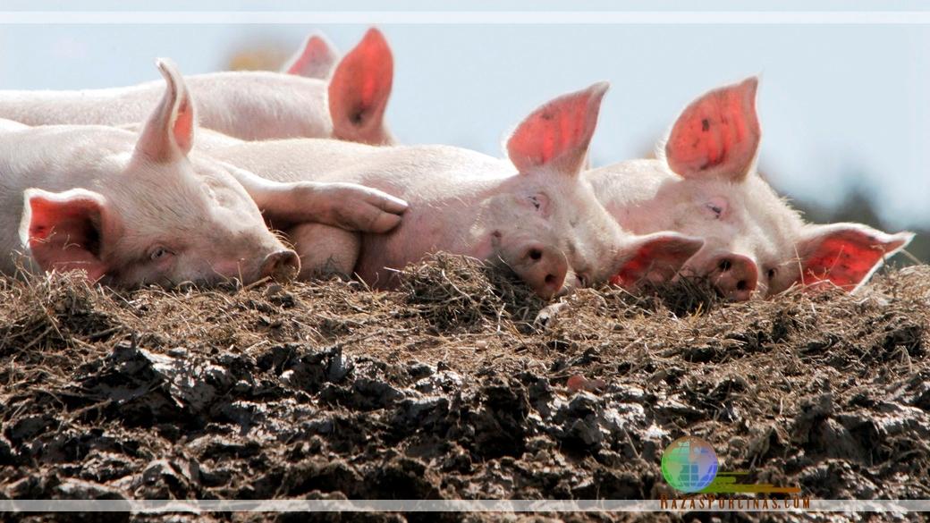 Fertilización de los suelos con purines de cerdos