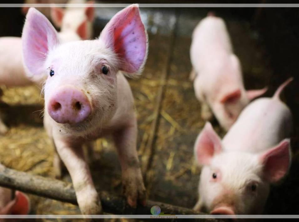 Lanzan una vacuna contra el Síndrome Respiratorio y Reproductivo Porcino (PRRS)
